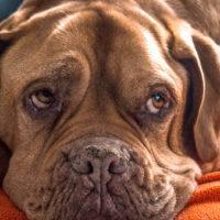 シニア犬の理想なダイエット法とおすすめダイエットフード3選